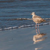 Herring Gull on Galveston East Beach in early morning light.