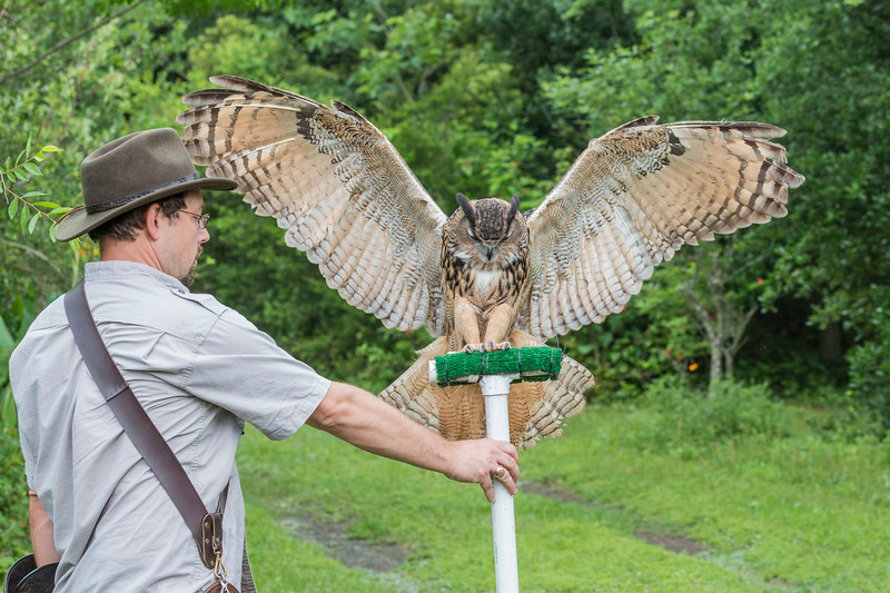 Artemis, a Eurasian Eagle-owl, is a rescue bird trained by Sky Kings Falconry.
