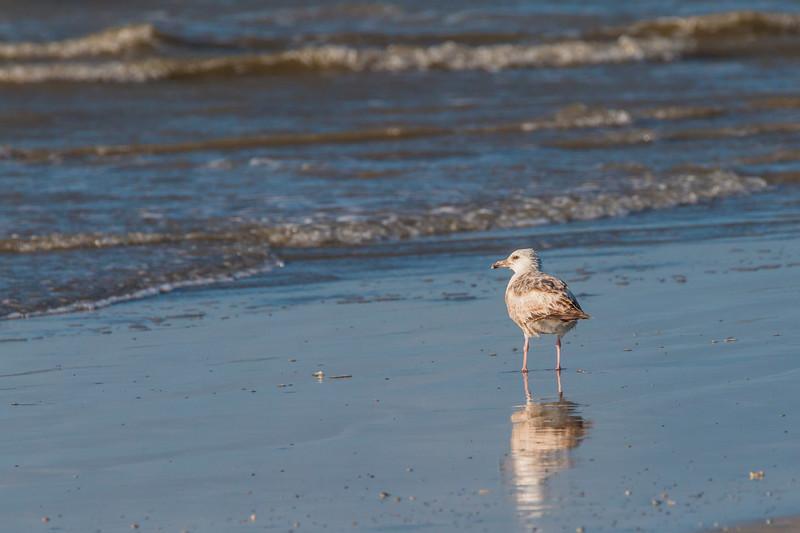 Herring Gull on Galveston East Beach in early morning light.