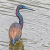 Tricolored Heron on overcast morning at Bolivar Beach on Bolivar Peninsula.