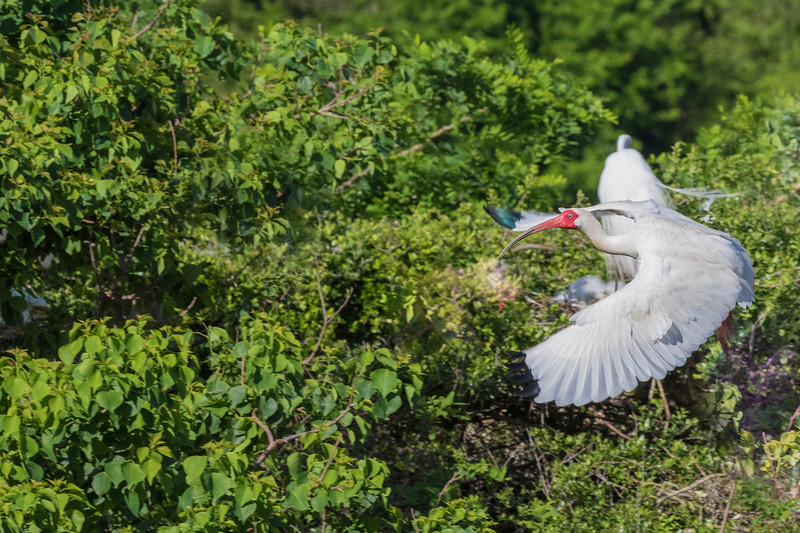 American White Ibis in flight at The Rookery at Smith Oaks in High Island, Texas, during breeding season.