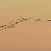 Brown Pelicans in flight at sunset over Galveston's East Beach.