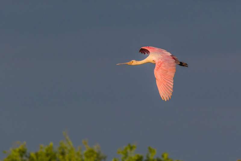 Roseate Spoonbill in flight at The Rookery at Smith Oaks in High Island, Texas, during breeding season.