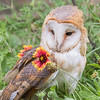 European Barn Owl, Rescue bird, trained by Sky King Falconry, a non-profit organizaiton.