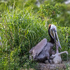 Brown Pelican at nest feeding and caring for nestlings at North Deer Island Pelican Rookery in Galveston Bay.