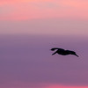 Silhouette of Brown Pelicans in flight at sunrise at North Deer Island Pelican Rookery in Galveston Bay.