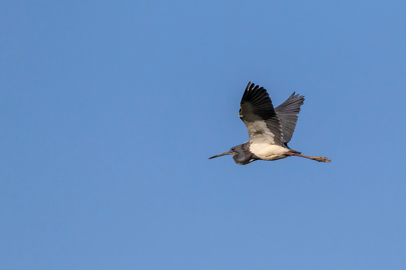 Tricolored Herons in flight at the Smith Oaks Rookery at High Island, Texas.