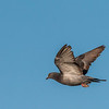 Rock Dove (or Rock Pigeon) flying over Galveston East Beach.