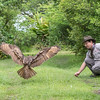 Artemis, a Eurasian Eagle-owl, is a Rescue bird, trained by Sky King Falconry, a non-profit organizaiton.