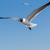 Laughing Gulls looking for handouts from Galveston-Bolivar ferry passengers.