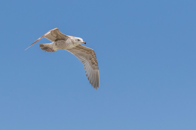 Herring Gull in flight JN105638