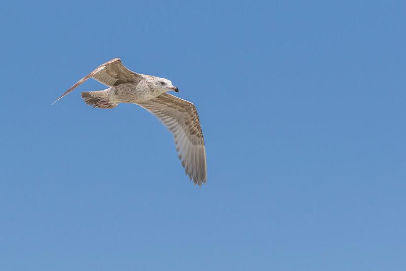 Herring Gull in flight JN105638