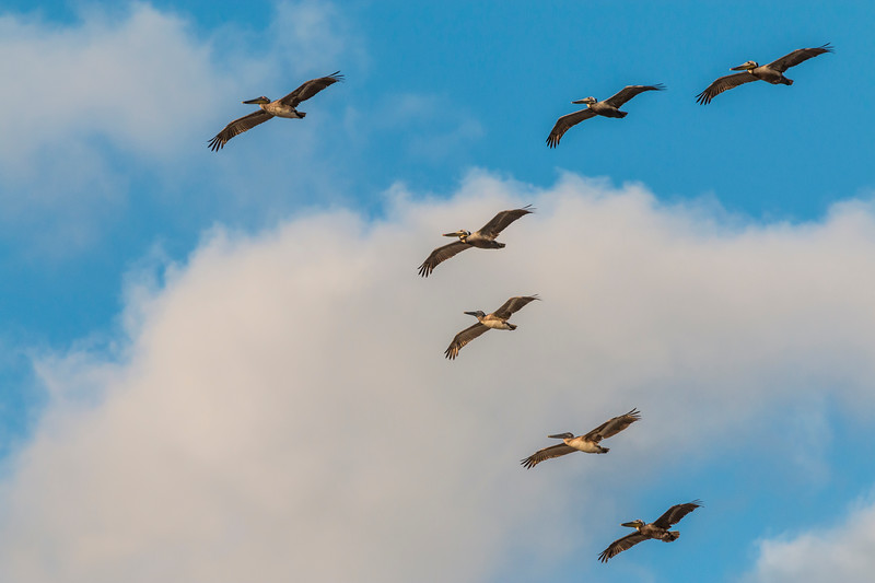 A flock or pod of Brown Pelicans in formation in flight over Galveston East Beach.