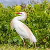 Cattle Egret at Galveston Island State Park.