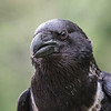 African Collared Raven, Rescue bird, trained by Sky King Falconry, a non-profit organizaiton.