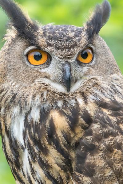Artemis, a Eurasian Eagle-owl, is a Rescue bird, trained by Sky King Falconry, a non-profit organizaiton.