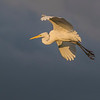 Great Egret flying at dusk at The Rookery at Smith Oaks in High Island, Texas, during breeding season.