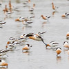 American Avocets on beach at Bolivar's North Jetty on an overcast day with calm waters created reflections.