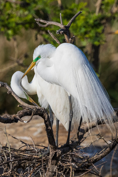 Great Egret in breeding plumage at Smith Oaks Rookery on High Island.