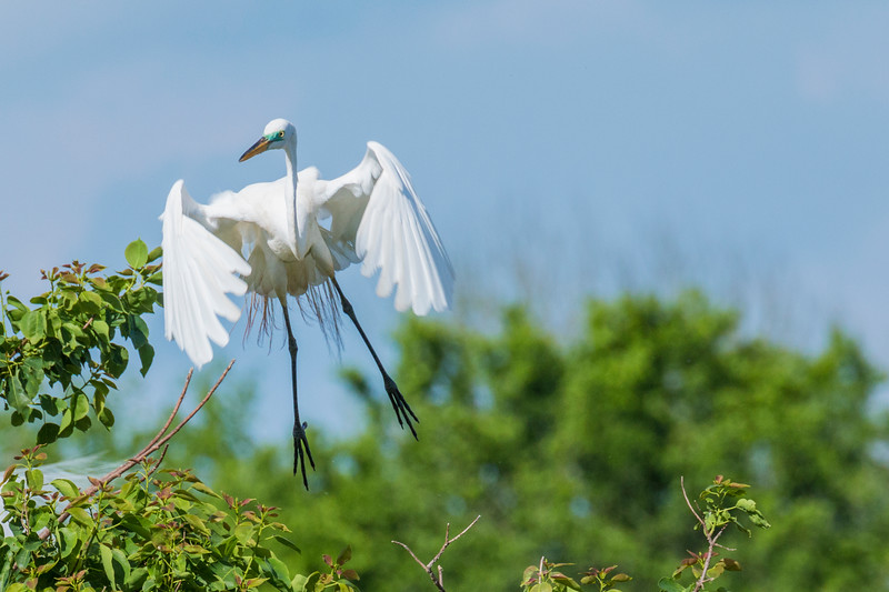 Great Egrets at The Rookery at Smith Oaks in High Island, Texas, during breeding season.
