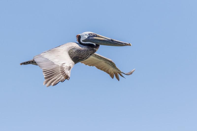 Brown Pelican in flight following Galveston-Bolivar ferry.
