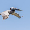 Brown Pelican in flight following Galveston-Bolivar ferry.