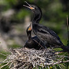 Neotropic Cormorant nest with chicks at Smith Oaks Rookery on High Island, Texas.