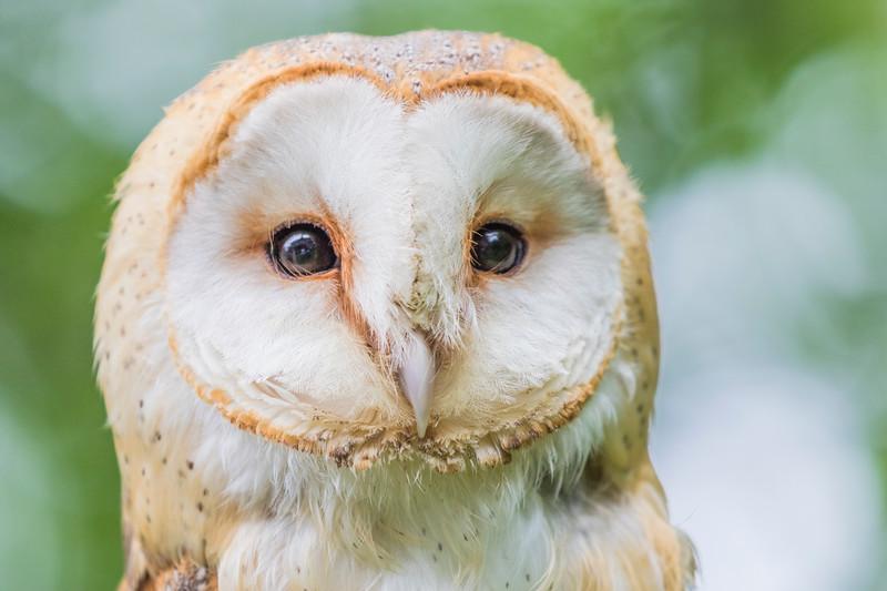 European Barn Owl, Rescue bird, trained by Sky Kings Falconry, a non-profit organizaiton.