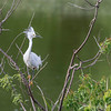 Snowy Egret at The Rookery at Smith Oaks in High Island, Texas, during breeding season.