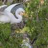 Great Egret with chicks in nest at Smith Oaks Rookery on High Island during Featherfest workshops.
