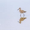 Willet sandpiper on beach at Bolivar Norht Jetty on overcast day with calm water - nice reflections.