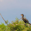 Neotropic Cormorant at The Rookery at Smith Oaks in High Island, Texas, during breeding season.