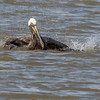 Brown Pelican taking a bath at North Deer Island Pelican Rookery in Galveston Bay.
