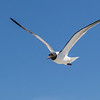 Laughing Gulls in flight following the Galveston-Bolivar ferry in Galveston Bay.