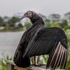 Igor, a Black Vulture with personality, a rehabilitated rescue bird, trained by Sky Kings Falconry, a non-profit organizaiton.