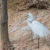 Great Egret in breeding plumage at Smith Oaks Rookery at High Island, Texas.