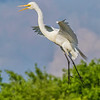 Great Egret in flight at The Rookery at Smith Oaks in High Island, Texas, during breeding season.