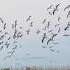 Gulls and other birds flushing in panic due to presence of hawk at North Deer Island Pelican Rookery in Galveston Bay.