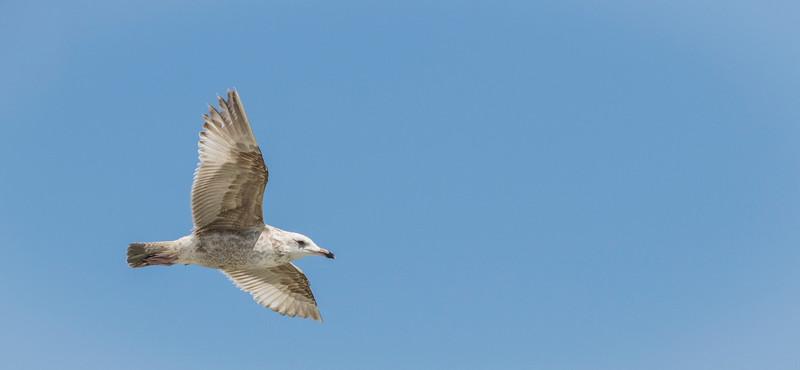 Herring Gull in flight JN105640