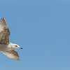 Herring Gull in flight JN105640