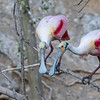 Roseatte Spoonbill at Smith Oaks Rookery on High Island during Featherfest workshops.