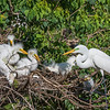 Great Egret with chicks at The Rookery at Smith Oaks in High Island, Texas, during breeding season.
