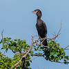 Neotropic Cormorant at The Rookery at Smith Oaks at High Island, Texas, during breeding season.