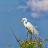 Great Egret at The Rookery at Smith Oaks in High Island, Texas, during breeding season.