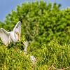 Great Egret feeding chicks at The Rookery at Smith Oaks in High Island, Texas, during breeding season.