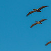 Brown Pelicans in formation in flight over Galveston East Beach.