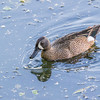 Blue-winged Teal duck at The Rookery at Smith Oaks in High Island, Texas, during breeding season.