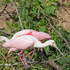 Roseate Spoonbills at The Rookery at Smith Oaks in High Island, Texas, during breeding season.
