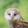 European Barn Owl, Rescue bird, trained by Sky Kings Falconry, a non-profit organizaiton.