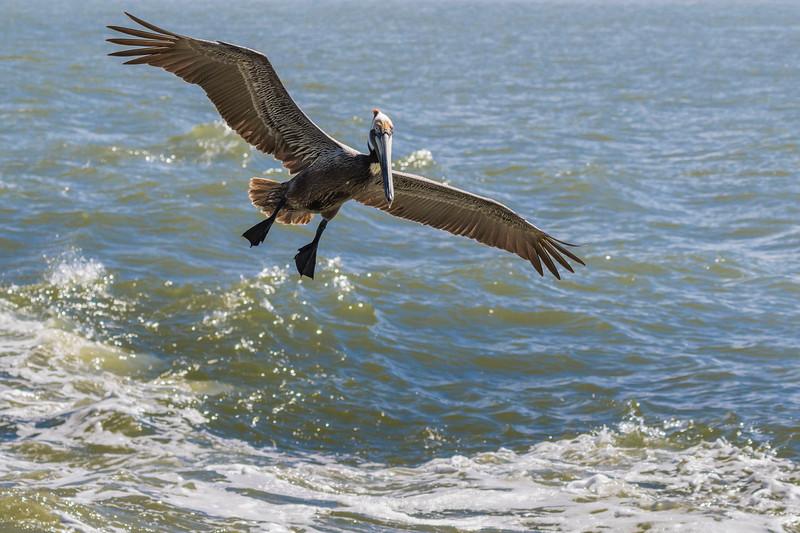 Brown Pelicans in flight following the Galveston-Bolivar ferry in Galveston Bay.